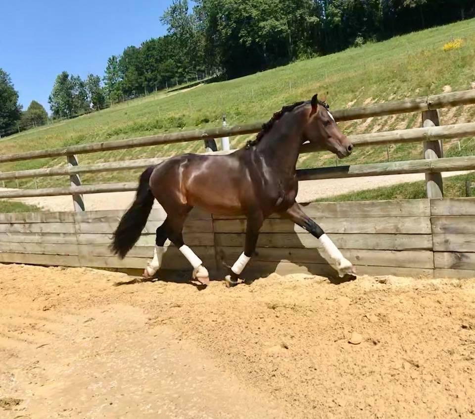 First d'Ofée Etalon poneys de sport