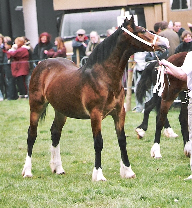 lady - 2nd place : 2005 Lampeter Show Filly Yearling